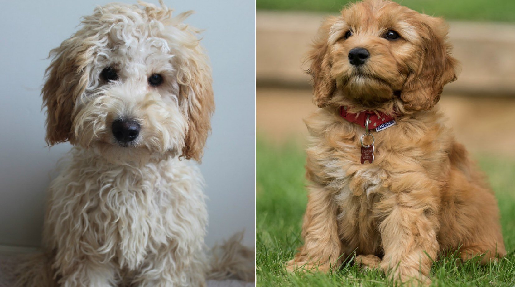 Labradoodle Vs Goldendoodle What Is The Difference The