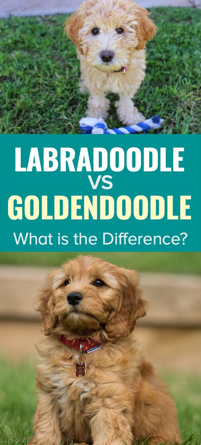 Labradoodle vs Goldendoodle – What is the Difference?