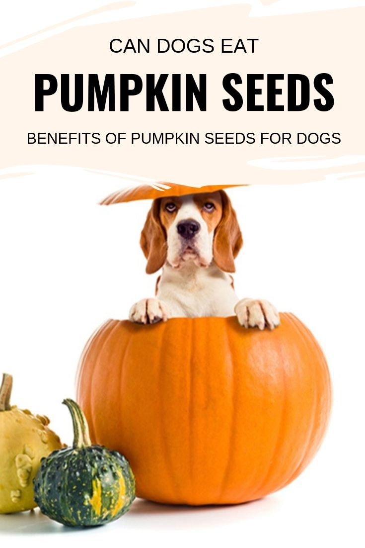 pumpkin seeds bad for dogs