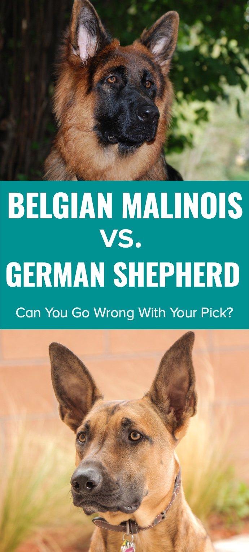 Belgian Malinois vs German Shepherd