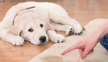 Clean carpet pets