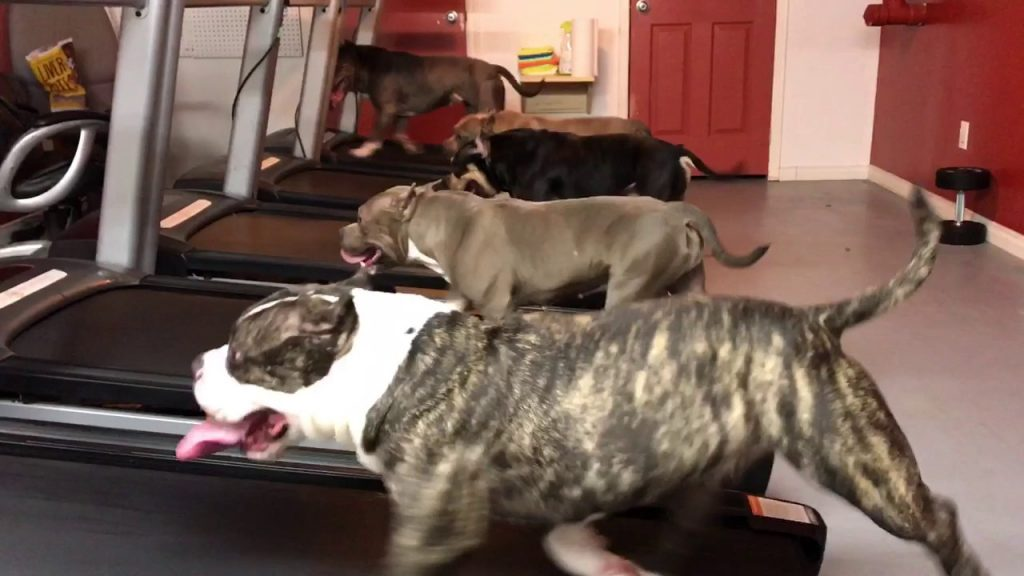 Dog on treadmills