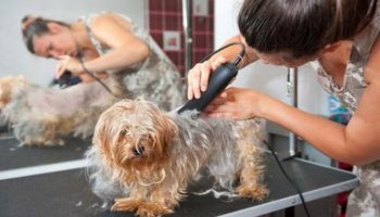 dog and woman with hair clippers