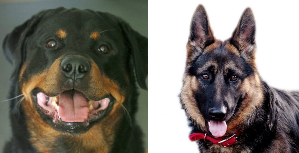 Rottweiler Vs German Shepherd Differences Explained The Daily Tail