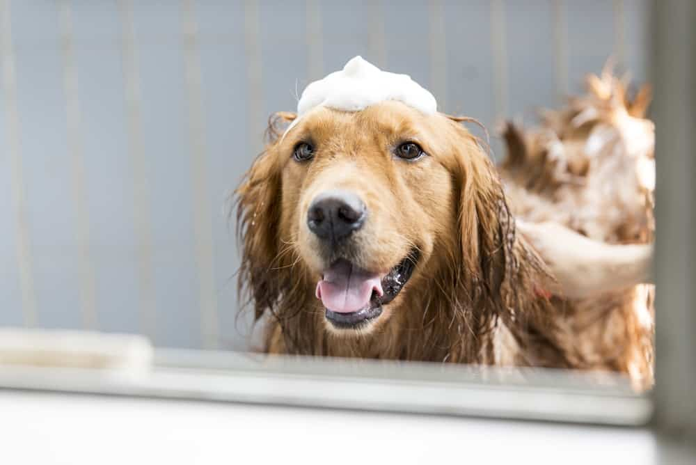 dog with shampoo