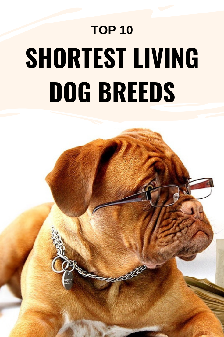 Shortest living dog breeds