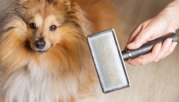 grooming with a dog brush on a shetland sheepdog