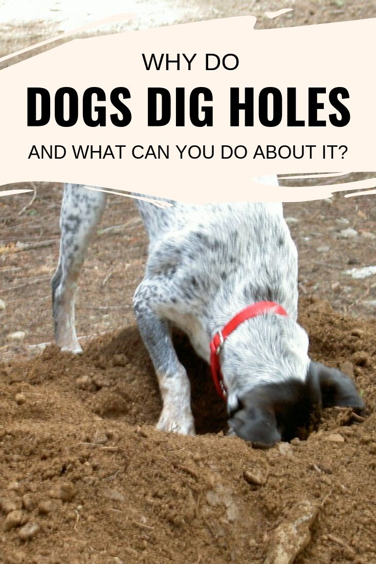 dogs dig holes