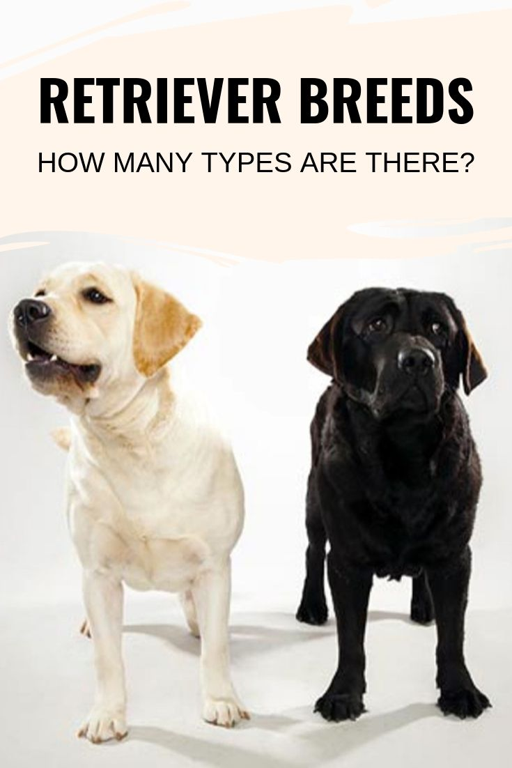 Retriever breeds
